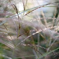 Celia-Pearson-5.-Grasses-II