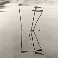 the aquatic plant series